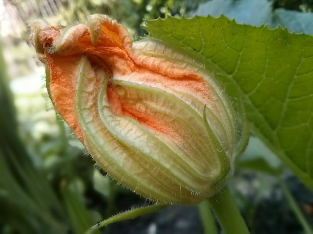 CourgetteFlower2